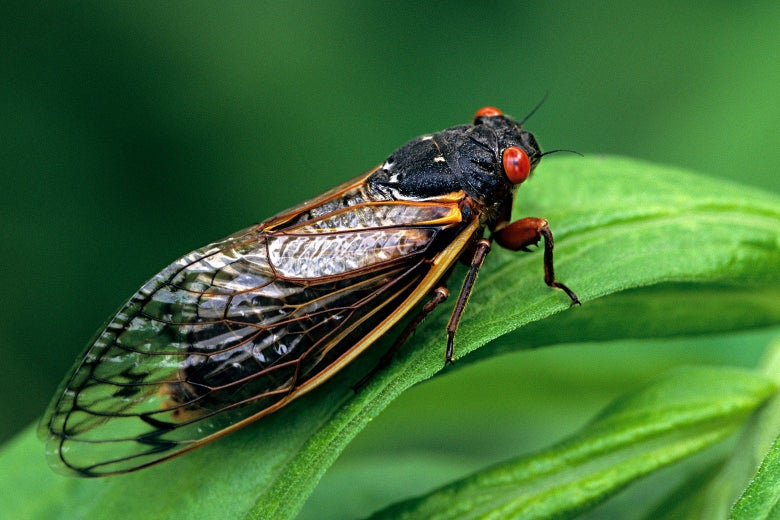 Flying Cicadas To Keep Some People Inside Their Houses