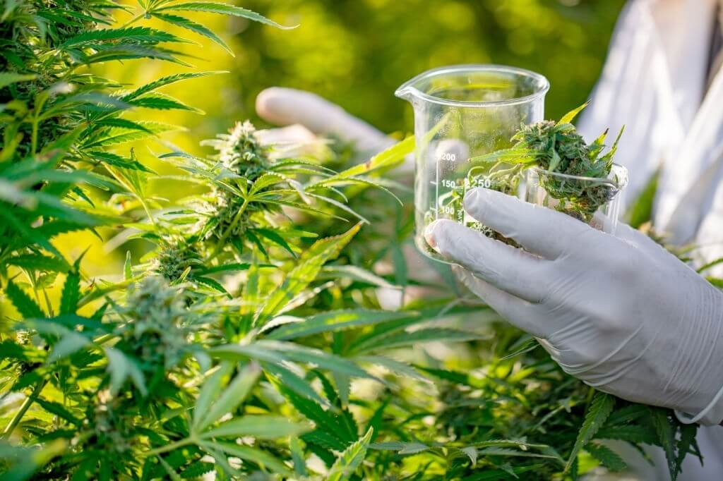 Cannabis Use Linked to Increase in Schizophrenia Cases?